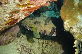 There are many different fish you can see on your night dive on Koh Tao – for example, Pufferfish